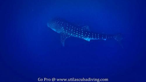 See whale sharks with Underwater Vision